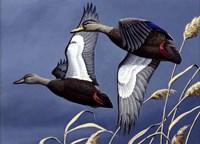 1984 Black Ducks Framed Print