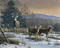 Prime Time - Whitetail Deer Fine Art Print