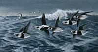 Rough Day On The Bay - Oldsquaw Ducks Fine Art Print