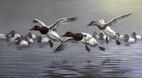Canvasbacks Coming In Fine Art Print