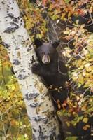 Bear up a Tree Fine Art Print