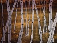 Birch trees Fine Art Print
