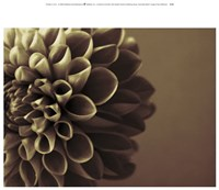 Chocolate Dahlia I Fine Art Print
