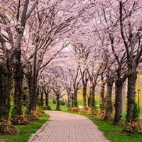 Cherry Blossom Trail Fine Art Print