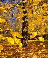 Yellow Tree Leaves, Stuttgart, Germany Fine Art Print