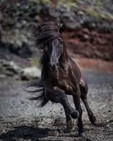 Icelandic Black Stallion, Iceland Fine Art Print