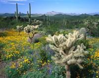 Arizona, Organ Pipe Cactus National Monument Fine Art Print