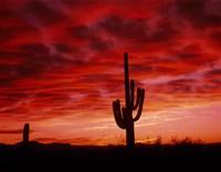 Organ Pipe Cactus State Park, AZ Fine Art Print