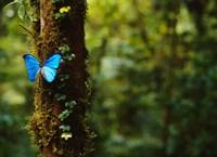 Blue Morpho Butterfly, Costa Rica Fine Art Print