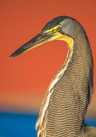 Bare-Throated Tiger Heron, Tortuguero, Costa Rica Fine Art Print