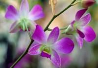 Cattleya Orchid Flower Blossoms Fine Art Print