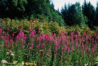 Pink Fireweed Wildflowers, Alaska Fine Art Print