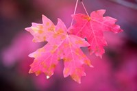 Autumn Color Maple Tree Leaves Fine Art Print