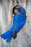 Male Eastern Bluebird Fine Art Print