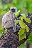 Gray Langur Monkey, Kanha National Park, Madhya Pradesh, India Fine Art Print