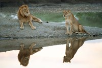 African Lion and Lioness, Ngorongoro Conservation Area, Tanzania Fine Art Print