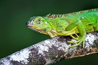 Green Iguana, Tarcoles River, Costa Rica Fine Art Print