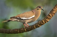 White-Winged Dove, Tarcoles River, Costa Rica Fine Art Print
