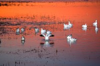 Snow Geese On Water Fine Art Print