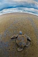Green Sea Turtle, Tortuguero, Costa Rica Fine Art Print