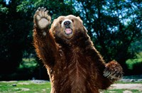 Grizzly Bear On Hind Legs Fine Art Print