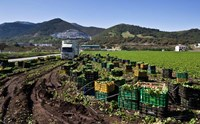 Harvesting Lettuce near Ventas de Zafarraya, Spain Fine Art Print