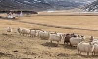 Flock of Sheep, Iceland Fine Art Print