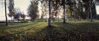 Birch Trees, Imatra, Finland Fine Art Print