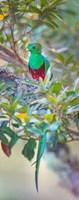Resplendent Quetzal, Costa Rica Fine Art Print