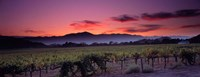 Vineyard At Sunset, Napa Valley, California Fine Art Print