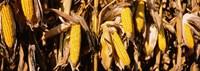 Corn Crop Field, Minnesota Fine Art Print