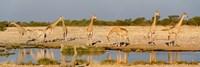 Giraffes, Etosha National Park, Namibia Fine Art Print