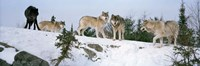 Gray wolves, Massey, Ontario, Canada Fine Art Print