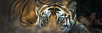 Bengal Tiger, India Fine Art Print