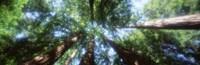 Muir Woods, Redwoods, CA Fine Art Print