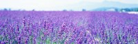 Lavender Field in Japan Fine Art Print