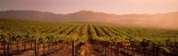 Vineyard in Geyserville, CA Fine Art Print