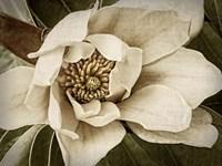Classic Magnolia I Fine Art Print