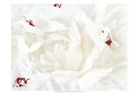 White Linen Peony I Fine Art Print