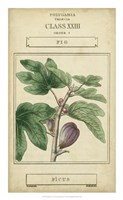 Linnaean Botany VI Framed Print