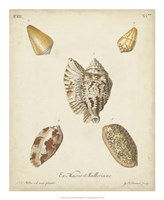 Antique Knorr Shells III Framed Print
