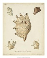 Antique Knorr Shells IV Framed Print