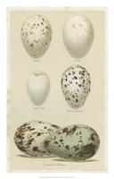 Antique Bird Egg Study II Fine Art Print