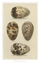 Antique Bird Egg Study VI Fine Art Print