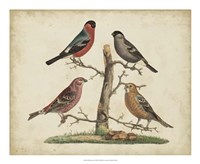 Bull Finches Fine Art Print