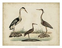 Common Heron & Crested Purple Heron Framed Print