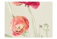Ranunculus 1 Fine Art Print