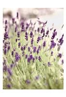 Lavender 2 Fine Art Print