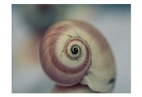 Moon Snail 1 Framed Print