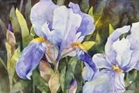 Purple Iris Closeup Fine Art Print